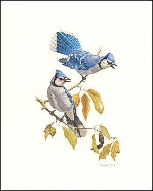 Bird Blue Jays Prints size 5x7 by Ruane Manning 58062